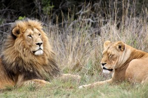 lions housing hunt