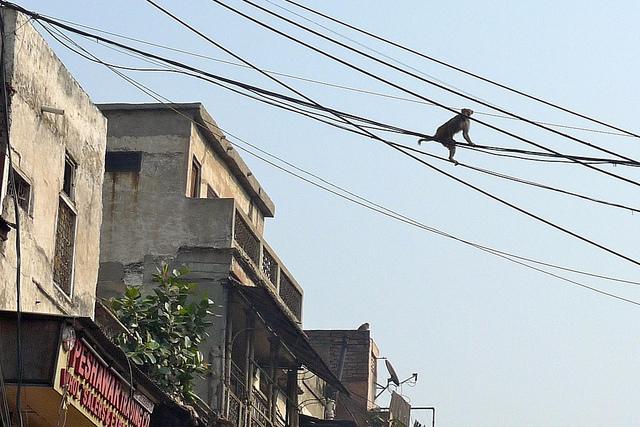 monkey new delhi