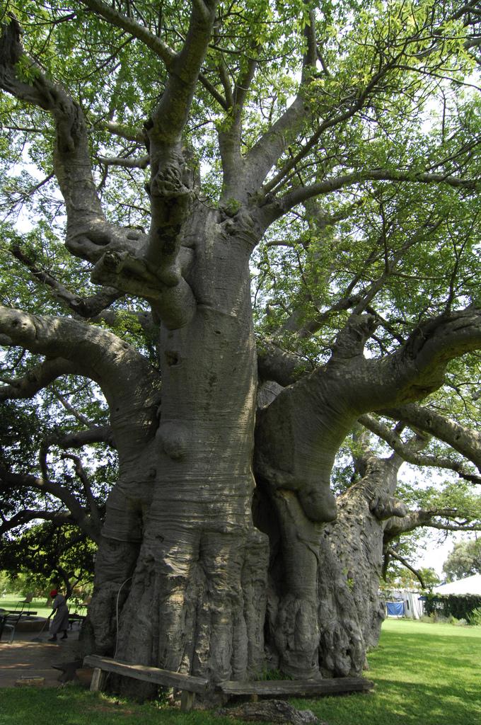 Sunland Baobab-1
