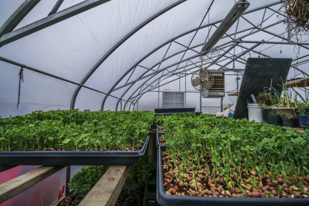 fresh city farms peashoots resized