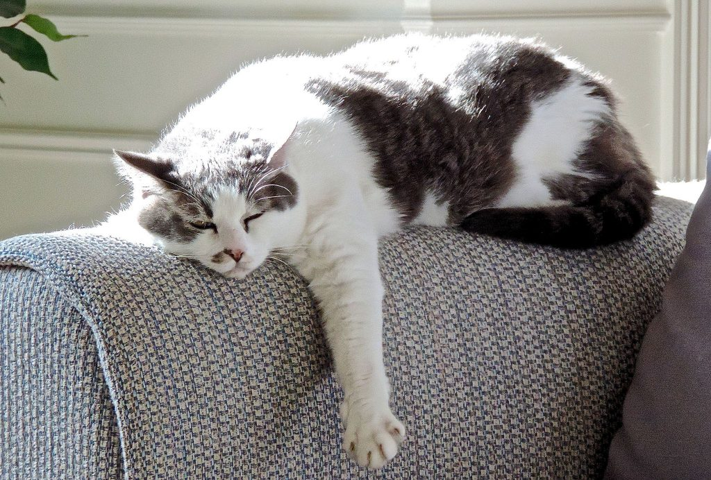 cat on couch-compressed