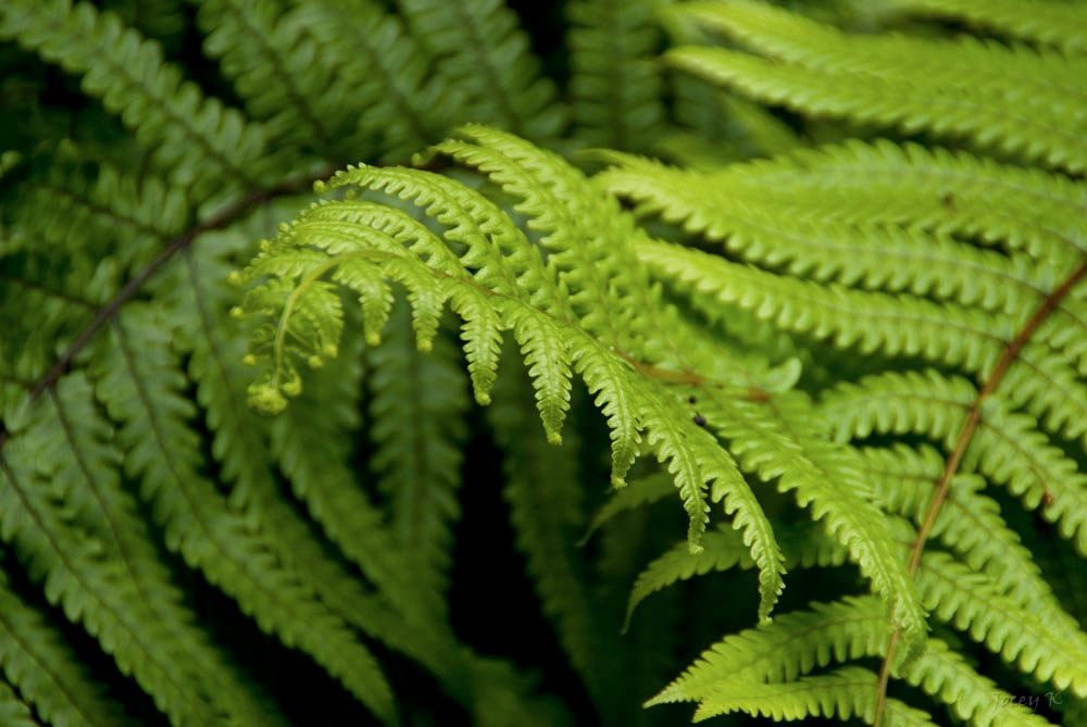 ferns-compressed