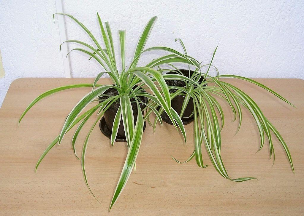 spider plant-compressed