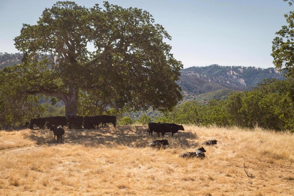 carmel valley cows